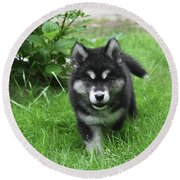 Beautiful Face Of An Alusky Puppy Dog In Thick Green Grass Round Beach Towel
