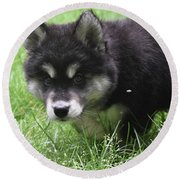 Beautiful Furry Black And White Alusky Only Two Months Old  Round Beach Towel