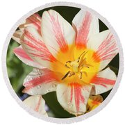 Beautiful Tulip With A Yellow Center And Pink Striped Petals Round Beach Towel