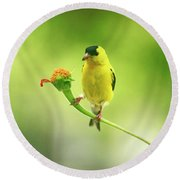 Goldfinch On Zinnia With Textures Round Beach Towel