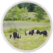 Belted Galloway Cows Rockport Maine Poster Prints Round Beach Towel