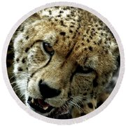Big Cats 50 Round Beach Towel