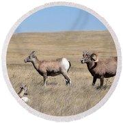 Big Horn Sheep Family Round Beach Towel