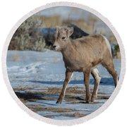 Bighorn Lamb 2 Round Beach Towel
