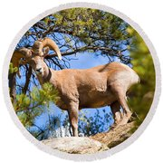 Bighorn Sheep In The San Isabel National Forest Round Beach Towel