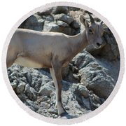 Bighorn Sheep Lamb Round Beach Towel