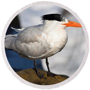 Black Crested Gull Round Beach Towel