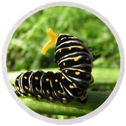 Black Swallowtail Caterpillar Round Beach Towel