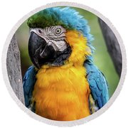 Blue And Yellow Macaw Portrait  Round Beach Towel