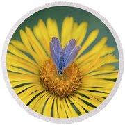Blue Butterfly On Alpine Sunflower Round Beach Towel