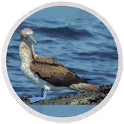 Blue-footed Booby  Puerto Egas James Bay Santiago James Island Galapagos Islands Round Beach Towel