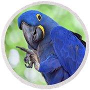 Blue Hyacinth Macaw Round Beach Towel