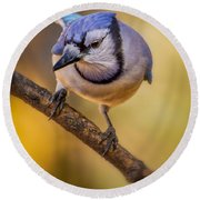 Blue Jay In Golden Light Round Beach Towel