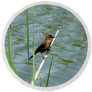 Boat Tailed Grackle Female Round Beach Towel