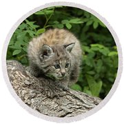 Bobcat Kitten Exploration Round Beach Towel by Sandra Bronstein