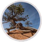 Bristle Cone Tree Round Beach Towel