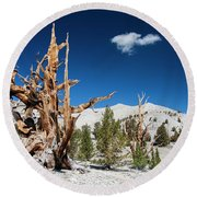Bristlecone Pine - Pinus Longaeva Round Beach Towel