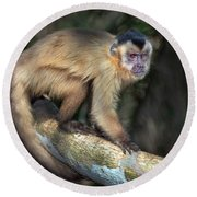 Brown Capuchin Monkey Cebus Apella Round Beach Towel