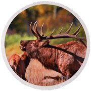 Bugling Elk In Autumn Round Beach Towel