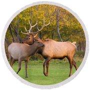 Bull And Cow Elk - Rutting Season Round Beach Towel