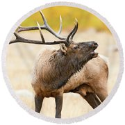 Bull Elk Bugling In The Fall Round Beach Towel