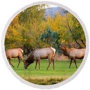 Bull Elk  Bugling With Cow Elks - Rutting Season Round Beach Towel