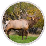 Bull Elk In Rutting Season Round Beach Towel