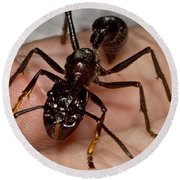 Bullet Ant On Hand Round Beach Towel
