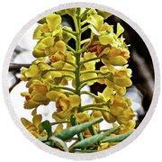 Caesalpinia Cacalaco In Huntington Desert  Gardens In San Marino-california  Round Beach Towel