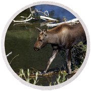 Calf Moose Round Beach Towel