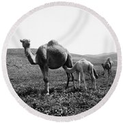 Camel And Young Round Beach Towel