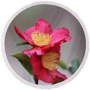 Camellia Sasanqua Yuletide 1 Round Beach Towel