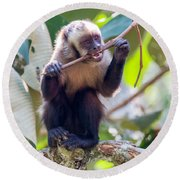 Capuchin Monkey Chewing On A Stick Round Beach Towel