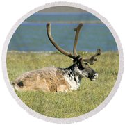 Caribou Resting Round Beach Towel