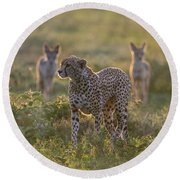 Cheetah Acinonyx Jubatus And Jackals Round Beach Towel