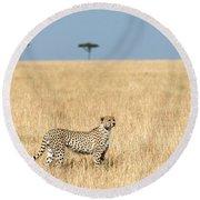 Cheetah Acinonyx Jubatus In Plains Round Beach Towel