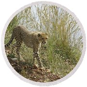 Cheetah Exploration Round Beach Towel