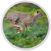 Cheetahs Acinonyx Jubatus Hunting Round Beach Towel