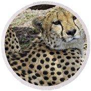 Cheetahs Resting Round Beach Towel