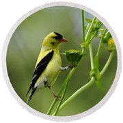 Clinging Goldfinch Round Beach Towel