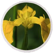 Close Up Of A Yellow Bearded Iris Round Beach Towel