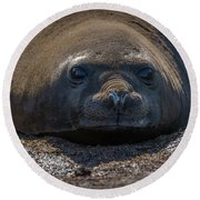 Close-up Of Elephant Seal Looking At Camera Round Beach Towel