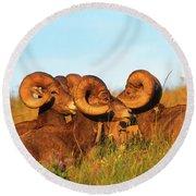 Close Up Portrait Group Of Big Bighorn Mountain Sheep Rams Round Beach Towel