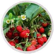 Closeup Of Fresh Organic Strawberries Growing On The Vine Round Beach Towel