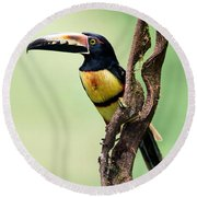 Collared Aracari Pteroglossus Round Beach Towel