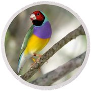 Colorful Gouldian Finch Round Beach Towel