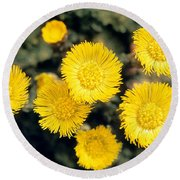 Common Coltsfoot  Round Beach Towel