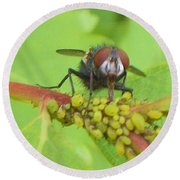 Common Fly Licking Up Aphid Nectar     May         Indiana    Round Beach Towel