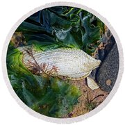 Common Piddock - Pholas Dactylus Round Beach Towel