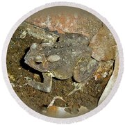 Common Toad - Bufo Americanus Round Beach Towel